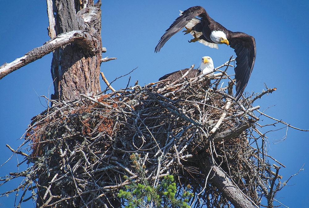 GROWLS Eaglecam now live